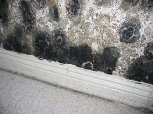 Stachybotrys Basement wall wet for prolonged time resulted in toxigenic mold Stachybotrys growth.