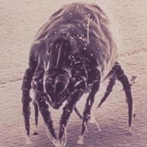 Dust mite viewed under microscope